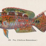 Cheilinus bimaculatus(タコベラ) – Free image Vintage postcard