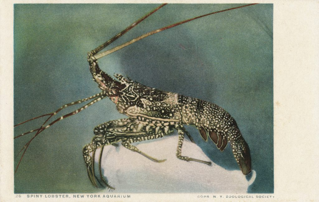 イセエビ(Spiny Lobster)
