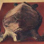 Turtle(亀) – Free image Vintage postcard