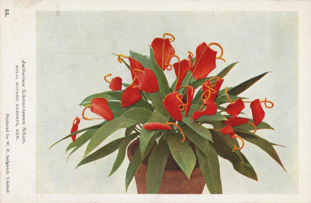 鉢植えのアンスリウム(Anthurium scherzerianum)