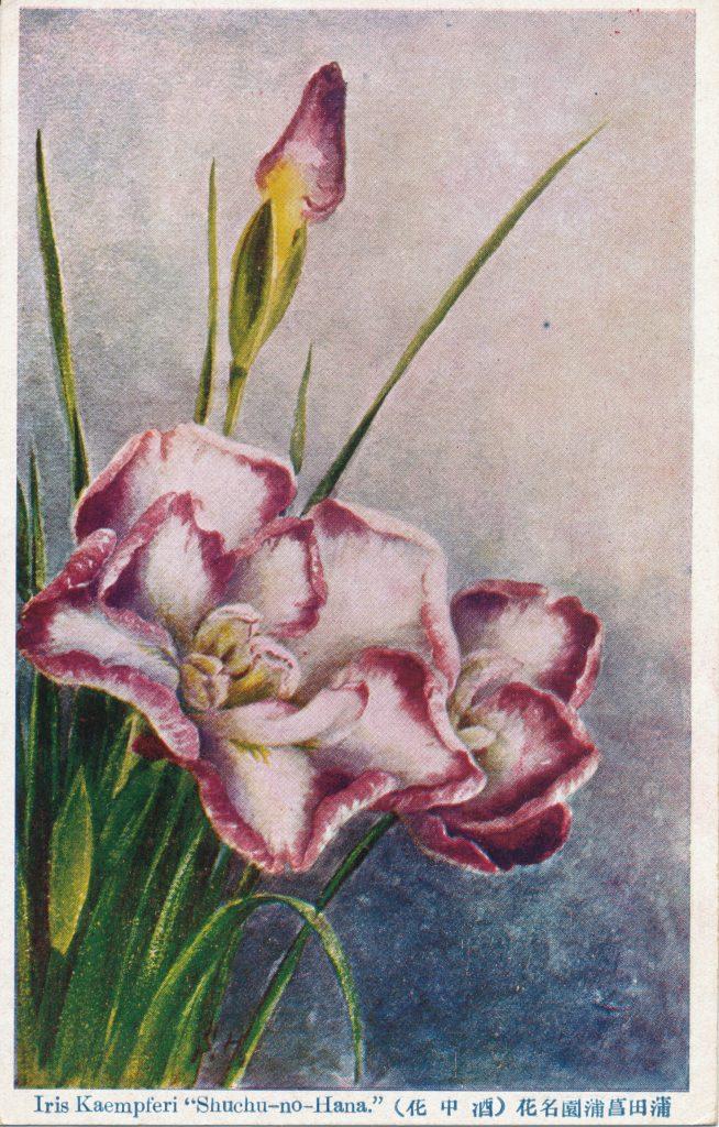 花菖蒲(Iris)