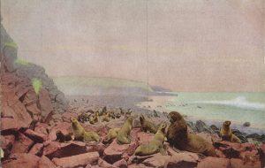 オットセイの群れ(Fur seals)
