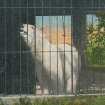 Polar Bear(白熊) – Free image Vintage postcard