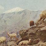 Mountain sheep(野生の山羊) – Free image Vintage postcard