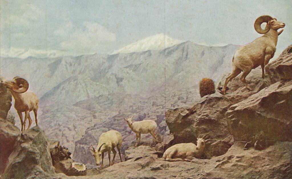 野生の山羊(Mountain sheep)