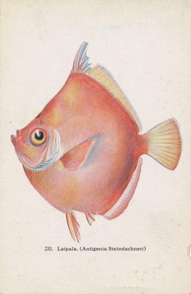 ヒシダイ(Caproidae)