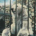 Polar Bear(白熊)2 – Free image Vintage postcard