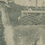 Lama(ラマ) – Free image Vintage postcard