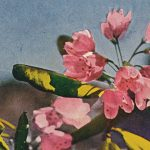 Rhododendron(シャクナゲ) – Free image Vintage postcard