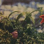 Chocolate Lily(クロユリ) – Free image Vintage postcard