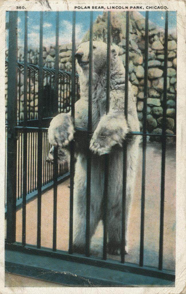 リンカーン・パークの白熊(Polar bear in Lincoln park)
