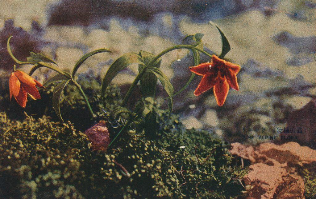 クロユリ(Chocolate Lily)