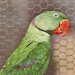 Alexandrine Parakeet(オオホンセイインコ) – Free image Vintage postcard